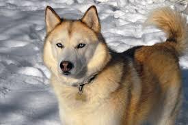 belgian shepherd vs husky the siberian husky pets cute and docile