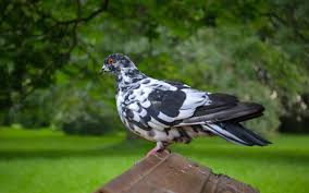 amazing pigeon colorful hd images wallpapers photos free download