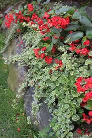 plant simplicity 1 dragon wing begonia 2 bacopa