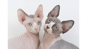 Hairless Cat Meme - sphynx cats 101 everything you need to know about the hairless