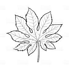 full leaf of fatsia japonica palm tree sketch vector illustration