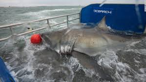 Great White Shark Attack Cape Cod - great white sharks you can track u0027em cnn travel