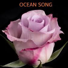 Lavender Roses Native Blooms Wholesale Premium Ecuadorian Roses Exclusive
