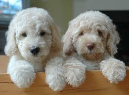 goldendoodle puppy treats bringing home a new puppy goldendoodles labradoodles