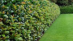 native hedging plants uses of hedges history different kinds of hedge plants youtube