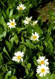 wyethia helianthoides sunflower wyethia sunflower mule ears pfaf
