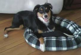 australian shepherd black and white border aussie dog breed information and pictures