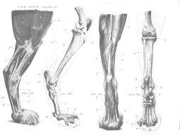 Dog Anatomy Front Leg 73 Best Carnivore Images On Pinterest Animals Animal Anatomy
