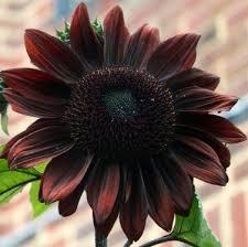 rare almost black chocolate sunflower helianthus annuus 20 seeds