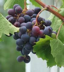 61 best grapes vines wine lessons images on fruit