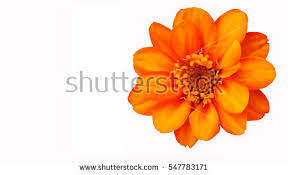 Yellow Orange Flowers - orange flowers stock images royalty free images u0026 vectors