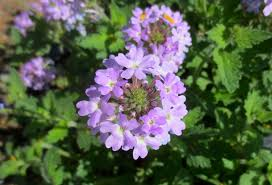 native plants of arizona plant of the month u2013 glandularia formerly verbena water use it