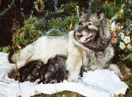 north american eskimo dog association keeshond dog breed information and pictures