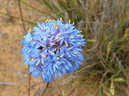 australian native plant names brunonia australis u2013 blue pincushion flower gardening with angus