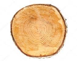 cross section of tree trunk stock photo mbongo 10608946