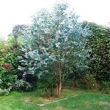 silver drop eucalyptus 100 seeds eucalyptus gunnii cider gum seeds silver dollar