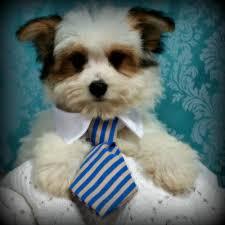 piper u0027s posh puppies pet breeders 7033 state rt 45 lisbon oh