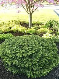 Garden Shrubs Ideas When To Plant Evergreen Shrubs Evergreen Garden Plants Best Zone 3