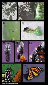 48 best monarch butterflies images on pinterest monarch