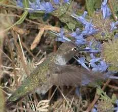 how to create a california hummingbird garden with native flowers