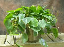 Indoor Vine Plant Indoor Climbing Plants The Joy Of Plants
