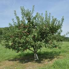 semi apple trees from stark bro s buy semi apple trees