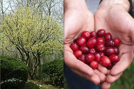 temperate climate permaculture permaculture plants cornelian cherry