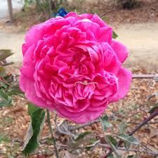 san jose heritage rose garden 110 photos u0026 38 reviews parks