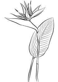 Bird Of Paradise Flower Bird Of Paradise Coloring Pages Free Coloring Pages