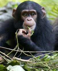 chimps trade tools to help out pals