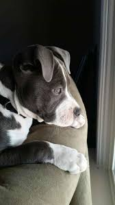 blue nose american pitbull terrier 172 best pit bulls are life images on pinterest animals pit