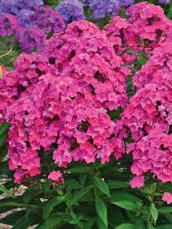 phlox flower phlox girl bluestone perennials