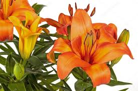 Asian Lilies Vivid Orange Asian Lilies And Buds On Green Stems U2014 Stock Photo