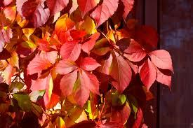 shrubs burst color fall proven winners