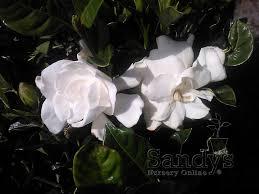 High Camp Gardenias by Amazon Com Sandys Nursery Online Gardenia U0027august Beauty U0027 4 Inch
