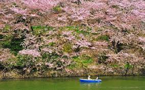 new forecast reveals when to catch japan u0027s cherry blossoms