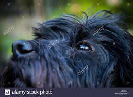 affenpinscher india a dogs eye close up stock photos u0026 a dogs eye close up stock