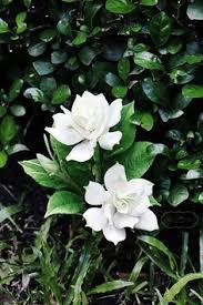 Most Fragrant Jasmine Plant - chinese violet tonkin jasmine apocynaceae pinterest