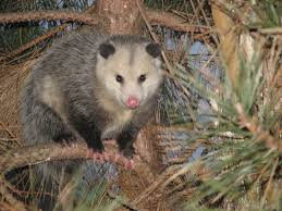 adventures in eco living the possum lives