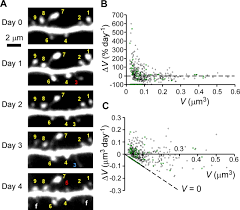 principles of long term dynamics of dendritic spines journal of