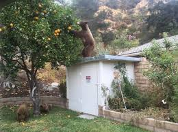 bear sightings in southern california nbc southern california