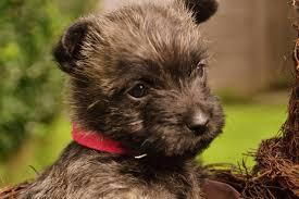 Plz Bad Salzuflen Cairn Terrier Welpen