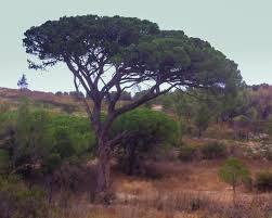 pinus pinea pine discover mobile