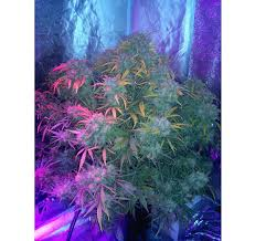 growing autoflower with led lights dutch passion think different diary gets 100 000 hits on autoflower