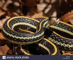 western ribbon western ribbon snake thamnophis proximus stock photo 31828302