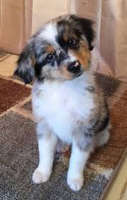 australian shepherd husky mix for sale the 156 best images about puppies on pinterest chihuahuas