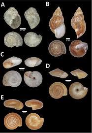 diversity and biogeography of land snails mollusca gastropoda