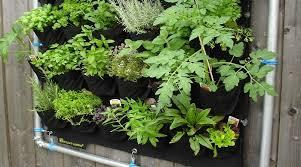 erba cipollina in vaso coltivare le aromatiche in vaso