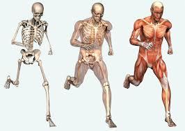 The Human Anatomy Muscles Human Anatomy Muscle Skeleton Human Anatomy Charts