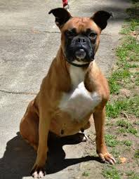 1 year old boxer dog daily dogs archives page 53 of 103 gapundit